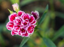 Fleurs pourpres blanches dans le jardin Image libre de droits