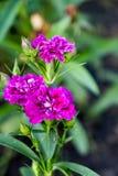 Fleurs pourpres blanches dans le jardin Photographie stock
