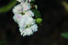 Fleurs pourpres blanches dans le jardin Photo libre de droits