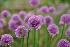 Fleurs pourpres - centaurée commune Photos stock