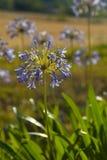 Fleurs pourpres d'agapanthus dans le jardin Photos libres de droits