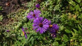 Fleurs pourpres d'Alpinus photographie stock libre de droits