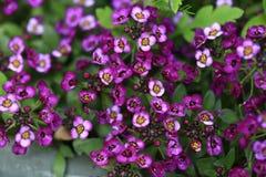 Fleurs pourpres d'Alyssum Photos libres de droits