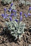 Fleurs pourpres d'incana de Veronica photo libre de droits