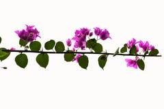 Fleurs pourpres d'isolement de bouganvillée Images stock