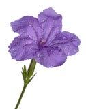 Fleurs pourpres d'isolement sur le fond blanc Photo libre de droits