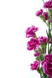 Fleurs pourpres d'oeillet au-dessus du fond blanc Image stock