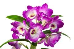 Fleurs pourpres d'orchidée d'isolement Photos libres de droits