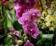 Fleurs pourpres d'orchidée de Phalaenopsis belles Image stock