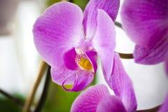 Fleurs pourprées d'orchidée Image stock