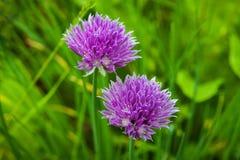 Fleurs pourpres d'une ciboulette Photographie stock