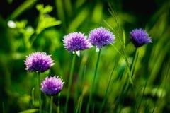 Fleurs pourpres d'une ciboulette Photographie stock libre de droits
