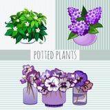 Fleurs pourpres dans des pots, usines mises en pot Photos stock