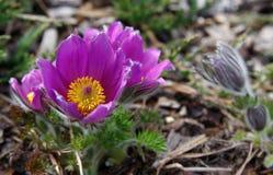 Fleurs pourpres dans haut Tatras Images libres de droits