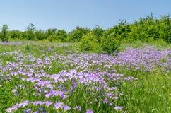 Fleurs pourpres dans le pré vert Photographie stock libre de droits