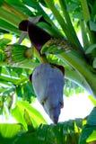 Fleurs pourpres de banane dans le secteur de maison photo stock