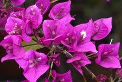Fleurs pourpres de bouganvillée Image stock