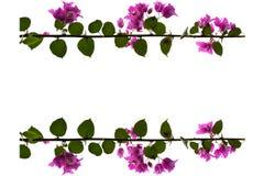 Fleurs pourpres de bouganvillée avec le fond blanc Image libre de droits