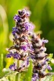 Fleurs pourpres de champ Images libres de droits
