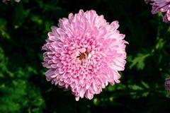 fleurs pourpres de chrysanthème dans le jardin Photo libre de droits