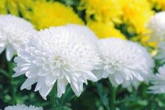 fleurs pourpres de chrysanthème dans le jardin Image libre de droits
