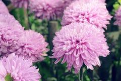 fleurs pourpres de chrysanthème dans le jardin Photo stock