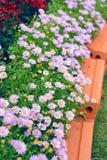 fleurs pourpres de chrysanthème dans le jardin Photos libres de droits