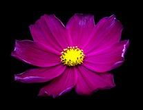Fleurs pourpres de cosmos photographie stock