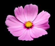 Fleurs pourpres de cosmos photos stock