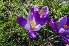 Fleurs pourpres de crocus ouvertes Photographie stock