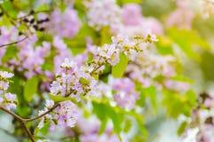 Fleurs pourpres de fleur de Bungor. Photos stock