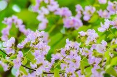 Fleurs pourpres de fleur de Bungor. Photographie stock libre de droits