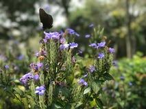 Fleurs pourpres de fleur et papillon noir dans le jardin extérieur Photo stock