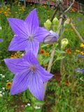 Fleurs pourpres de floraison dans le jardin Photos stock