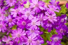 Fleurs pourpres de floraison humides de gerbera Image stock