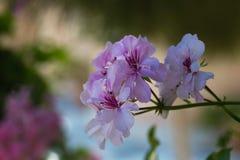 Fleurs pourpres de géranium Photos stock