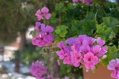 Fleurs pourpres de géranium Photo libre de droits