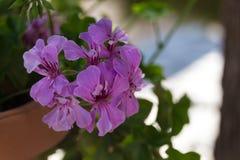 Fleurs pourpres de géranium Images stock