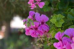 Fleurs pourpres de géranium Images libres de droits