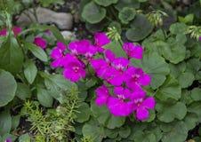 Fleurs pourpres de géranium, Philadelphie, Pennsylvanie Images stock