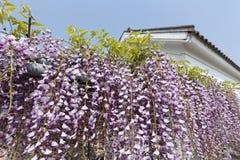 Fleurs pourpres de glycine Photographie stock