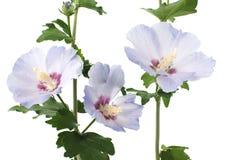 Fleurs pourpres de ketmie Image stock