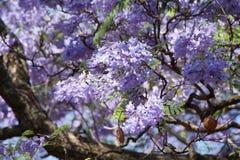 Fleurs pourpres de l'arbre de Jacaranda Photos libres de droits