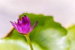 Fleurs pourpres de lotus Photos libres de droits
