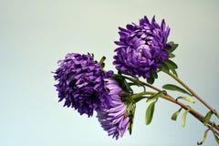 Fleurs pourpres de mort mortes de chrysanthème Image stock
