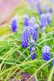 Fleurs pourpres de Muscari photographie stock libre de droits