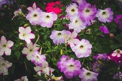 Fleurs pourpres de pétunia dans le jardin Image libre de droits