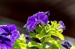 Fleurs pourpres de pétunia dans le parterre images libres de droits