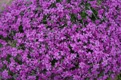 Fleurs pourpres de phlox Photo stock