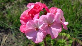 Fleurs pourpres de phlox parmi l'herbe Image stock